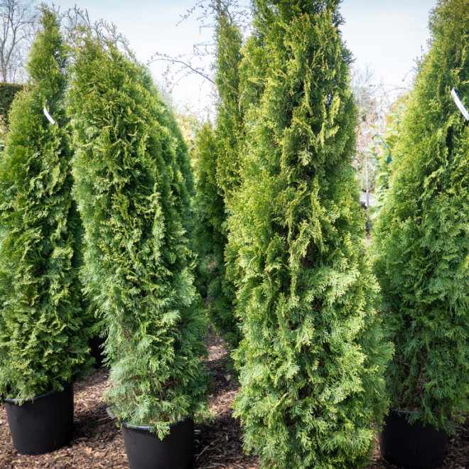 Thuja occidentalis 'Smaragd', Höhe 175 - 200 cm
